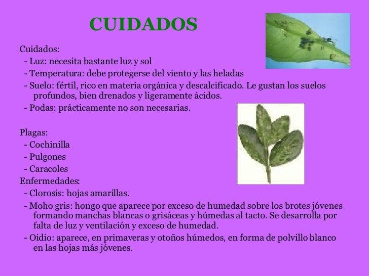 Presentacion magnolio - Cuidados del magnolio ...