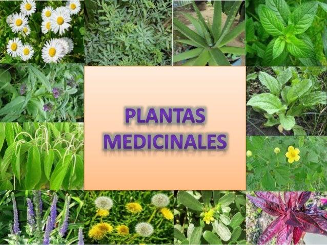 Plantas medicinales por tigse y j come for Plantas medicinales y ornamentales