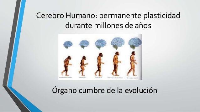 Cerebro Humano: permanente plasticidad durante millones de años Órgano cumbre de la evolución
