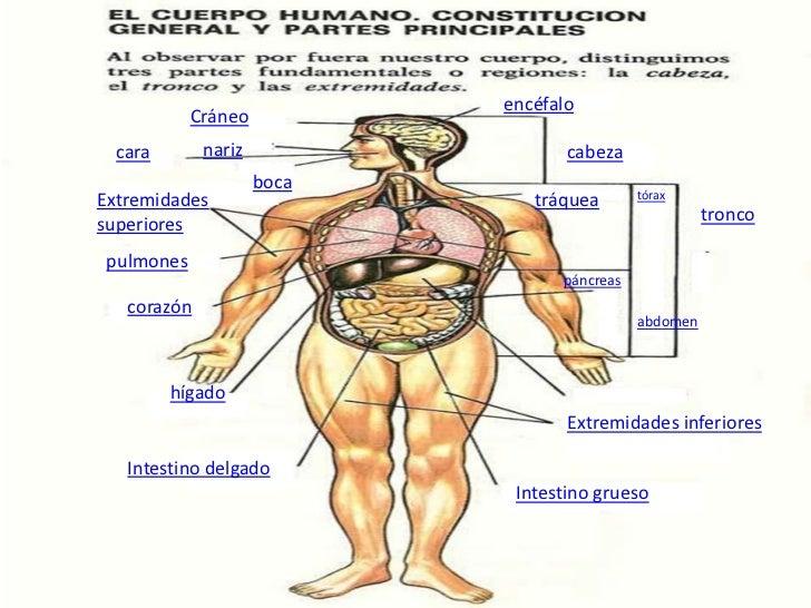 Presentacion cuerpo humano - Interior cuerpo humano organos ...