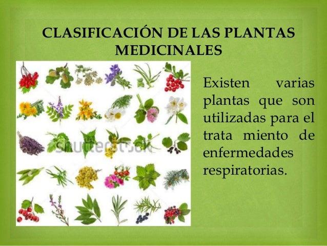 Eucalipto para las infecciones respiratorias for Clasificacion de las plantas ornamentales