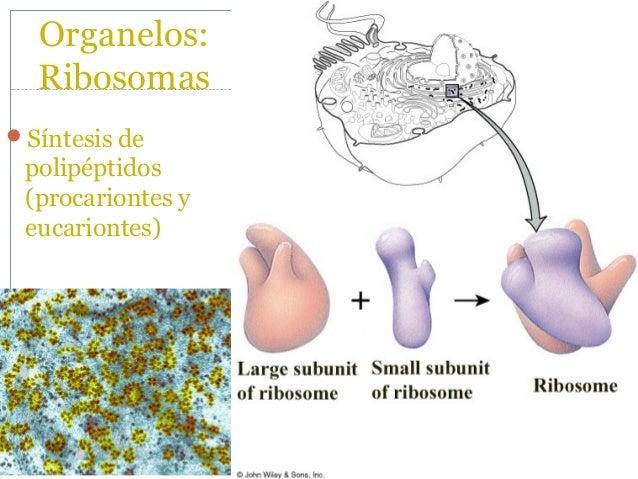 Organelos: R.E.R.Síntesis de muchas proteínas destinadas a la secreción o la incorporación a membranas