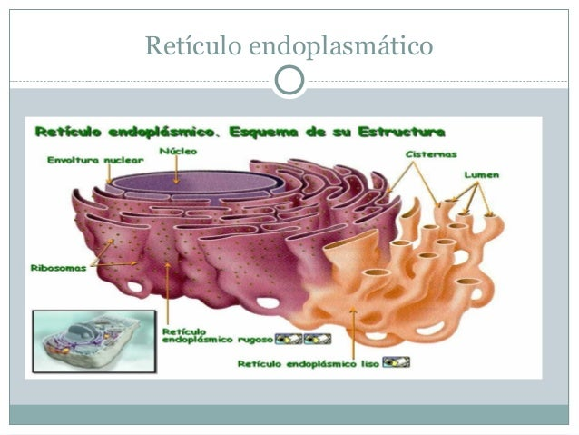 RETICULO ENDOPLASMATICO Y     APARATO DE GOLGI