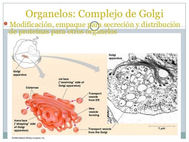 ORGANULOS DE LA CELULALisosomas      Vesículas esféricas que               contienen enzimas                              ...