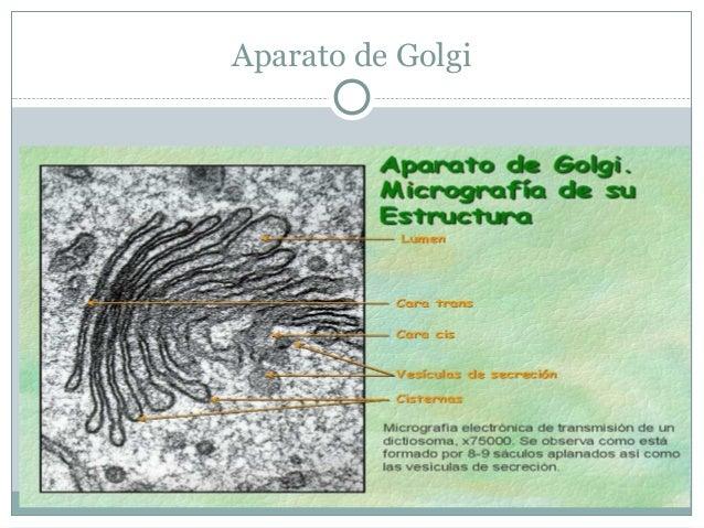 Organelos: Lisosomas          Degradación de       materiales ingeridos,              secreciones y        desechos celul...