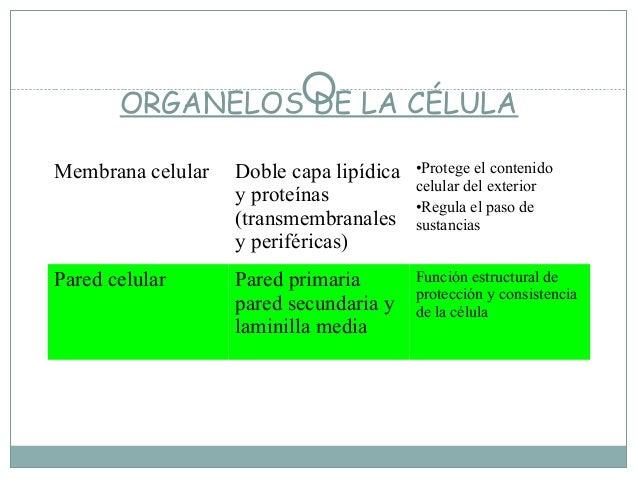 ORGANELOS DE LA CÉLULAMembrana celular   Doble capa lipídica   •Protege el contenido                                      ...