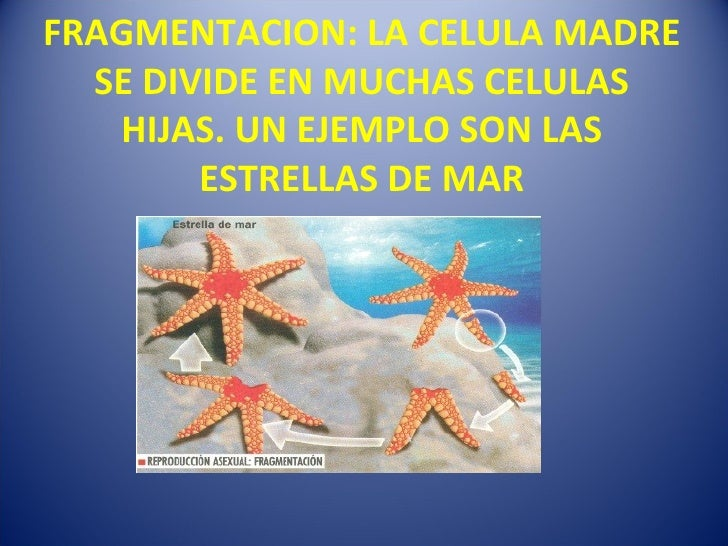 Fragmentacion asexual estrella de mar
