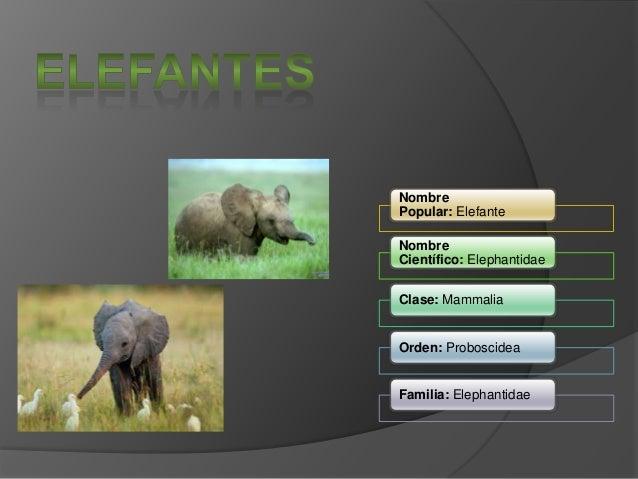 Nombre Popular: Elefante Nombre Científico: Elephantidae Clase: Mammalia Orden: Proboscidea Familia: Elephantidae