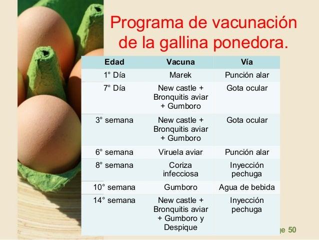 presentacion gallinas ponedoras 50 638 - ENFERMEDADES &  PROGRAMA DE VACUNACION
