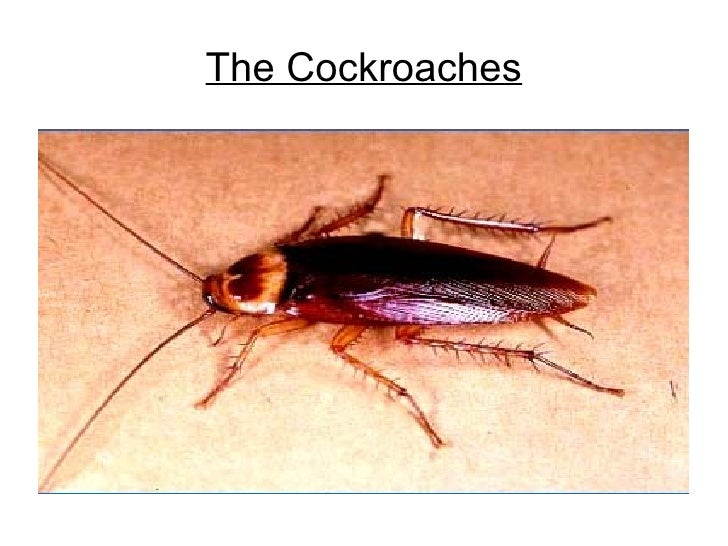 The Cockroaches