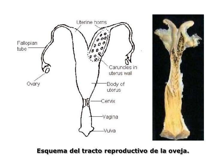 Excelente Ovejas Anatomía Reproductora Componente - Anatomía de Las ...