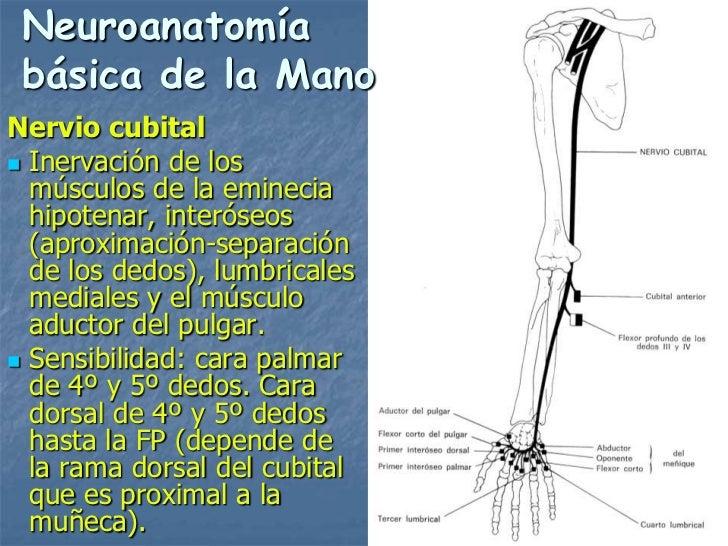 Neuroanatomía básica de la ManoNervio cubital Inervación de los  músculos de la eminecia  hipotenar, interóseos  (aproxim...