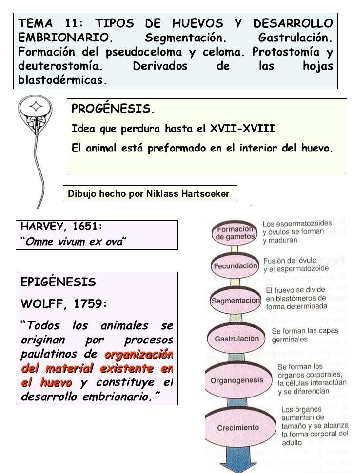 TEMA 11: TIPOS DE HUEVOS Y DESARROLLO EMBRIONARIO. Segmentación. Gastrulación. Formación del pseudoceloma y celoma. Protos...