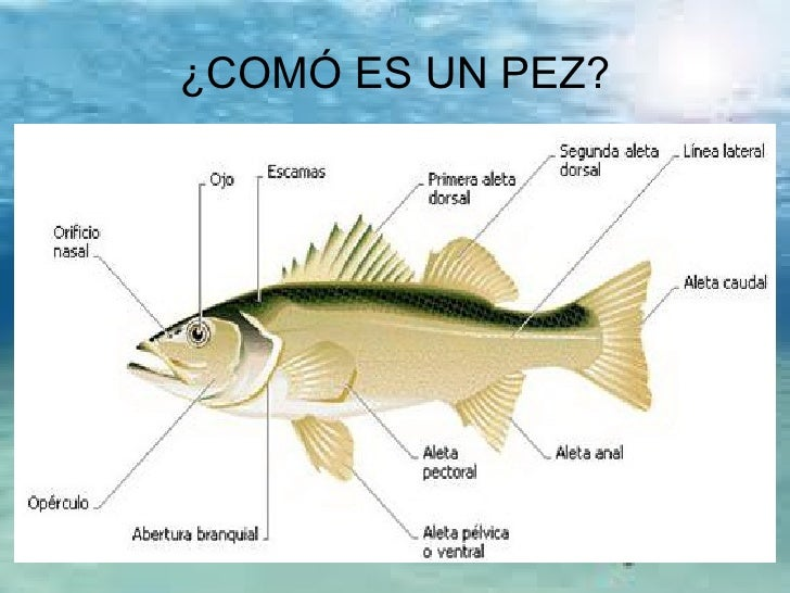 Los peces 1 ciclo for Caudal en ingles
