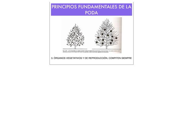 PRINCIPIOS FUNDAMENTALES DE LA PODA  3. ÓRGANOS VEGETATIVOS Y DE REPRODUCCIÓN, COMPITEN SIEMPRE