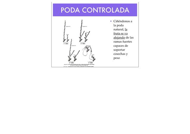 PODA CONTROLADA • Ciñéndonos a la poda natural, la fruta se va alejando de las ramas fuertes capaces de soportar cosechas ...