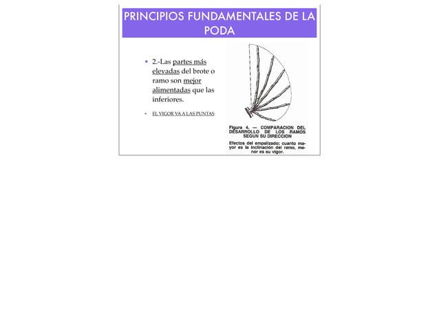 PRINCIPIOS FUNDAMENTALES DE LA PODA • 2.-Las partes más elevadas del brote o ramo son mejor alimentadas que las inferiores...
