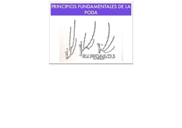 PRINCIPIOS FUNDAMENTALES DE LA PODA