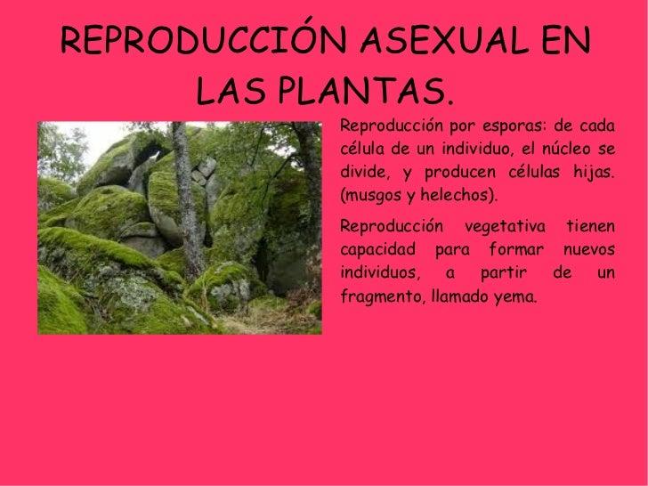 Reproduccion de los musgos asexual reproduction