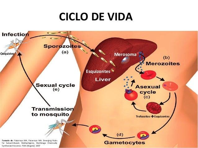 Malaria ciclo asexual