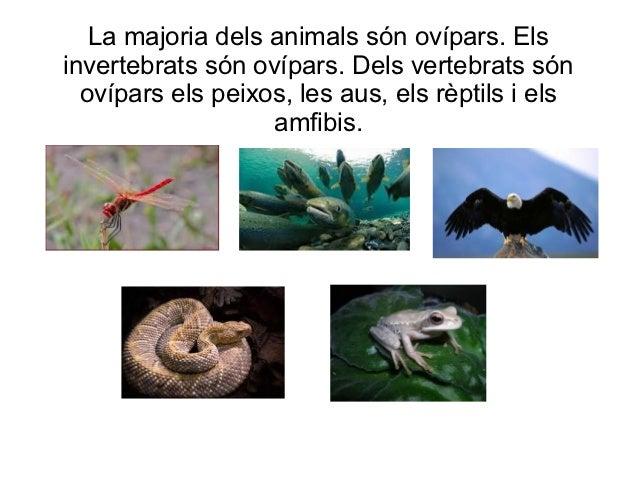 La majoria dels animals són ovípars. Elsinvertebrats són ovípars. Dels vertebrats són  ovípars els peixos, les aus, els rè...