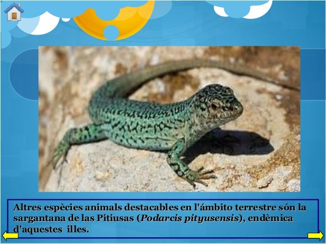 Altres espècies animals destacables en l'ámbito terrestre són la sargantana de las Pitiusas (Podarcis pityusensis), endèmi...
