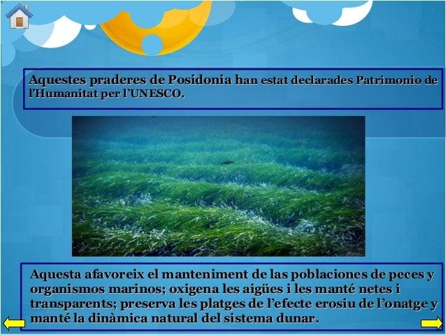 Aquestes praderes de Posidonia han estat declarades Patrimonio de l'Humanitat per l'UNESCO.  Aquesta afavoreix el mantenim...