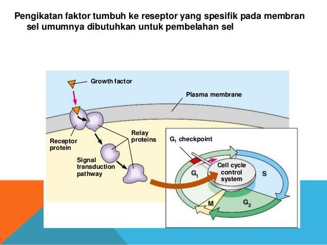 Presentasi patklin siklus sel normal 6 ccuart Choice Image