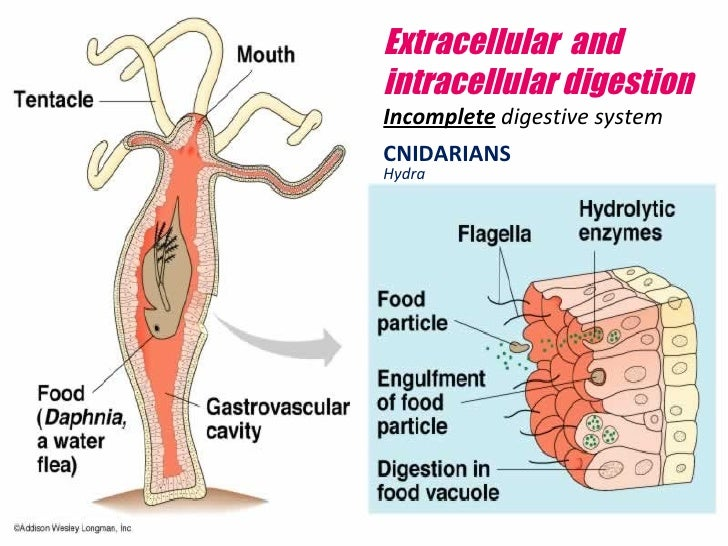 intracellular and extracellular digestion in hydra