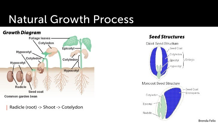 plant growth development rh slideshare net Science Fair Plant Growth Chart Primary and Secondary Growth in Plants