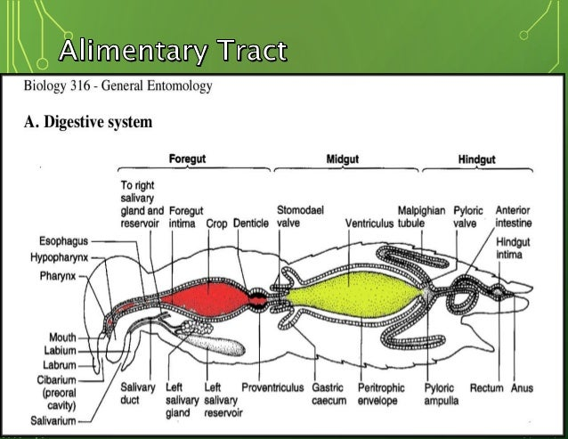 Dragonfly Diagram Digestive System Wiring Library