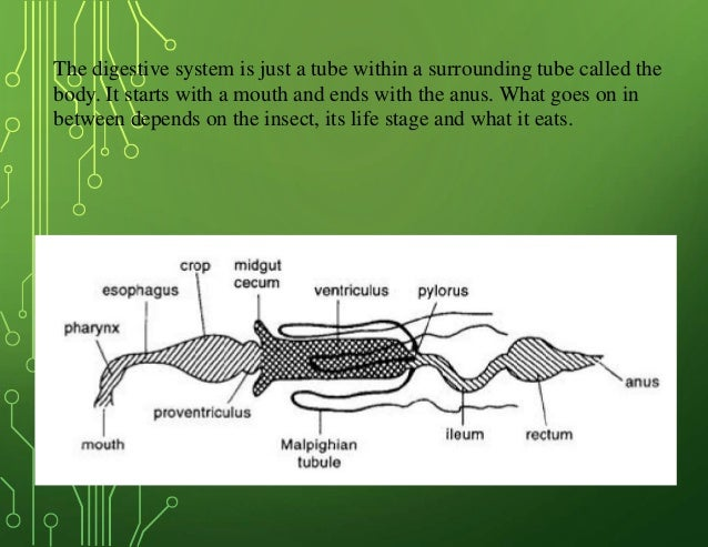 Insects digestive system digestive system ccuart Gallery