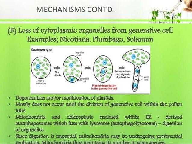 MECHANISMS CONTD. (B) Loss of cytoplasmic organelles from generative cell Examples; Nicotiana, Plumbago, Solanum • Degener...