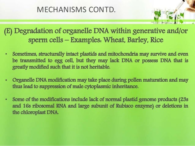MECHANISMS CONTD. (E) Degradation of organelle DNA within generative and/or sperm cells – Examples: Wheat, Barley, Rice • ...
