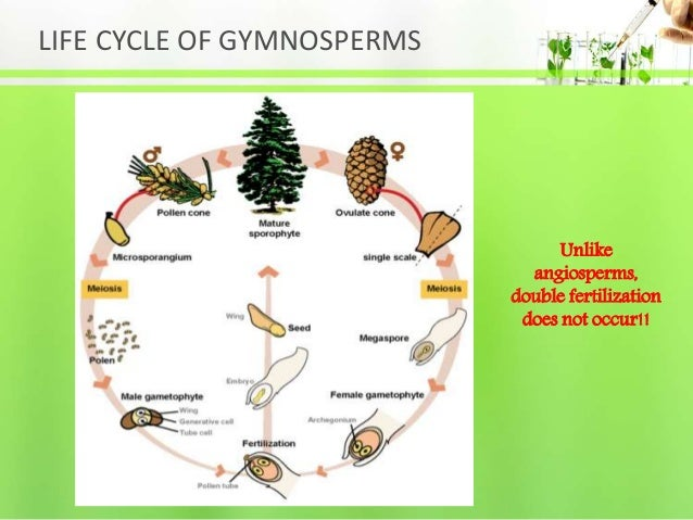 LIFE CYCLE OF GYMNOSPERMS Unlike angiosperms, double fertilization does not occur!!