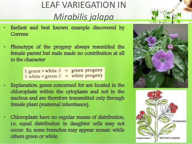 LEAF VARIEGATION IN Mirabilis jalapa • Earliest and best known example discovered by Correns • Phenotype of the progeny al...