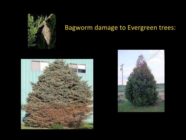 Unique Plants for 2009 and Bagworm Control