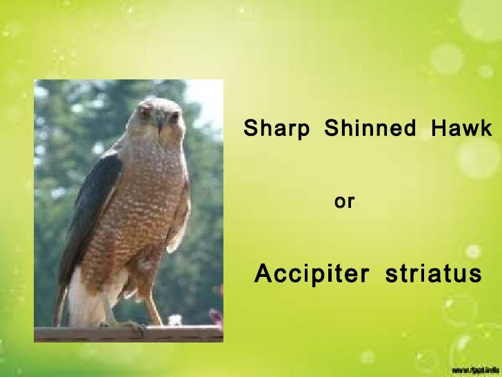 Sharp Shinned Hawk Accipiter striatus or