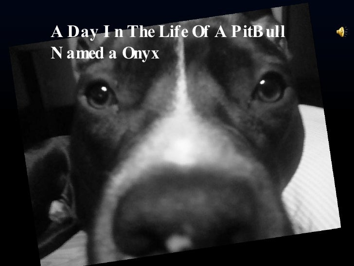 A Day In The Life Of A PitBull Named a Onyx