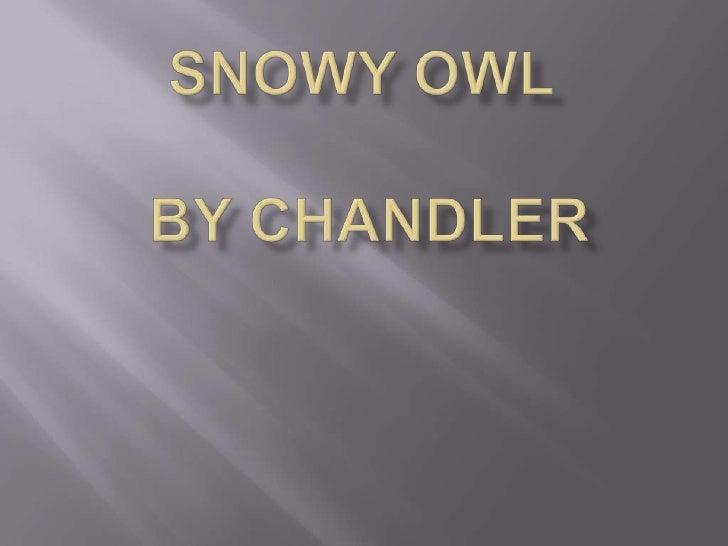 Snowy Owl      BY Chandler<br />