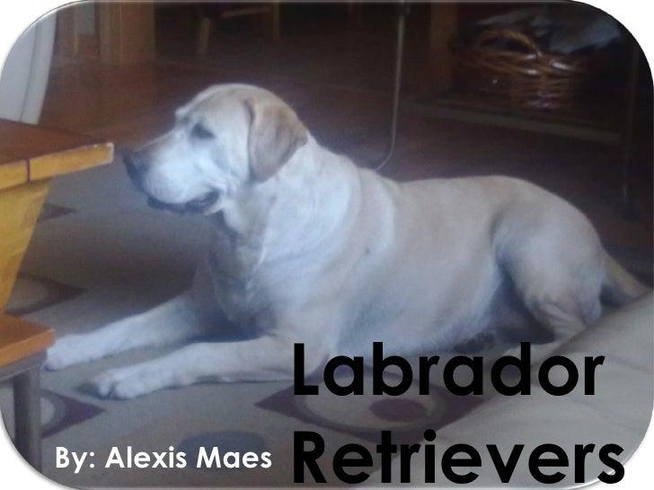 Labrador  Retrievers By: Alexis Maes
