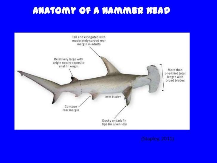 Hammerhead Shark   Hammerhead Sharks