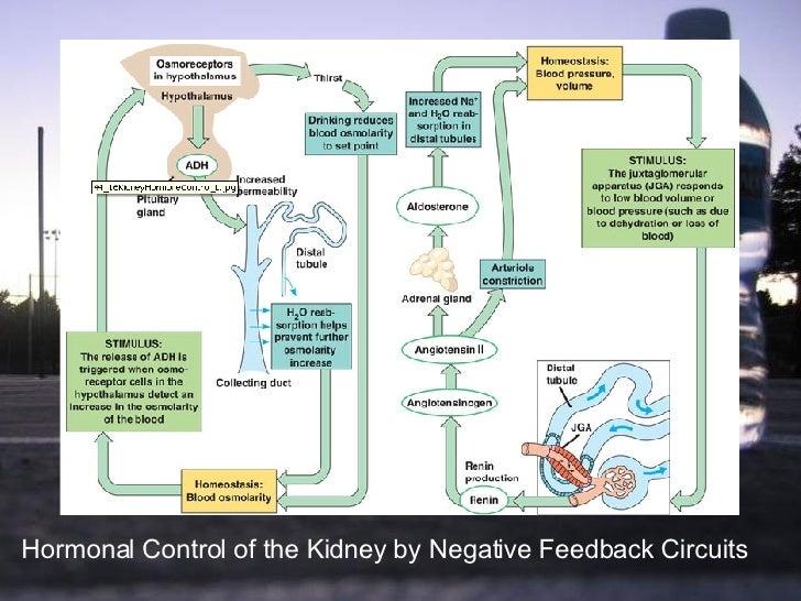 Presentation1. Wiring. Aldosterone Hormone Feedback Loop Homeostasis Diagram For At Scoala.co