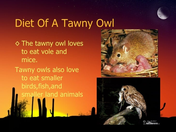 Tawny owl for Do owls eat fish