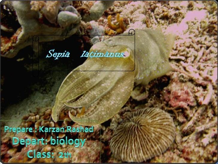 •      Cuttlefish (Sepia latimanus) | :    the common name is cuttlefish.    Cuttlefish belong to the class    cephalopoda...