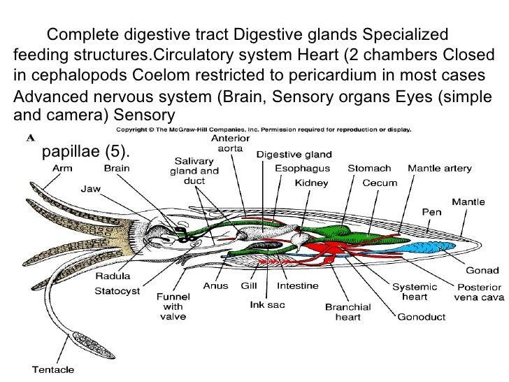 Cuttlefish Circulatory Diagram Auto Electrical Wiring Diagram