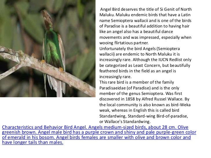 Angel Bird deserves the title of Si Genit of North                                            Maluku. Maluku endemic birds...