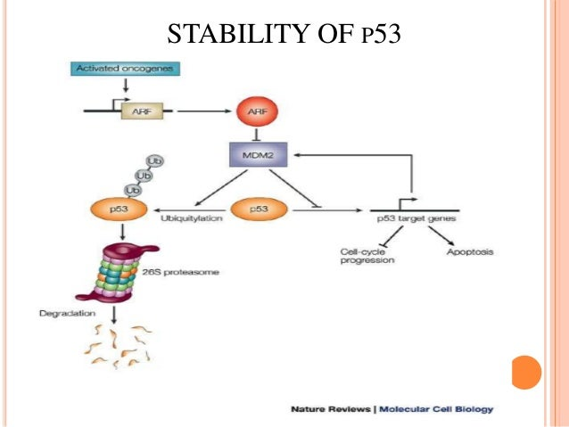 p53 structure and function Introduction p53, also known as tp53 or tumor protein (ec :27137) is a  gene that codes for a protein that regulates the cell cycle and hence functions as  a tumor suppression it is very important for  structure the p53 protein is a .