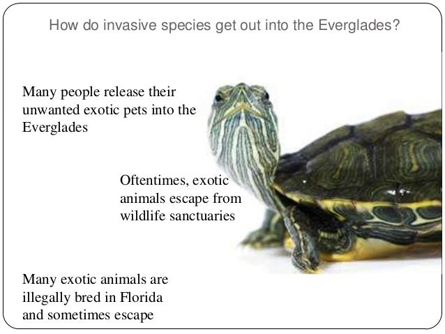 the invasive species of the everglades List of invasive species in the everglades's wiki: a tree island in the everglades covered by old world climbing ferneverglades national park staff photographed this.