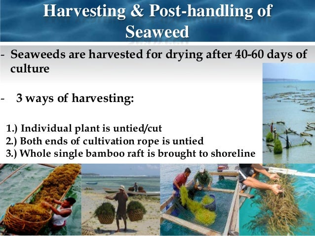 sea weed farming south east asia